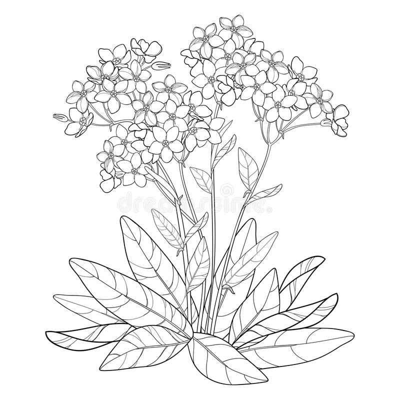 Vector bouquet with outline Forget me not or Myosotis flower, bunch, bud and leaves in black isolated on white background. stock illustration