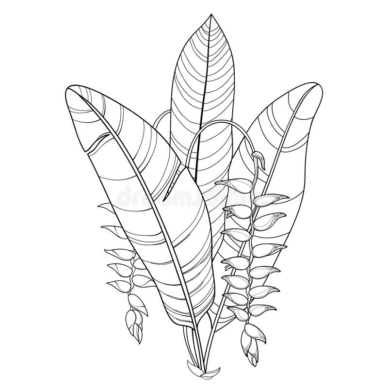 Vector bouquet with outline Heliconia rostrata or lobster claws flower and foliage in black isolated on white background. Tropical ornate flower in contour vector illustration