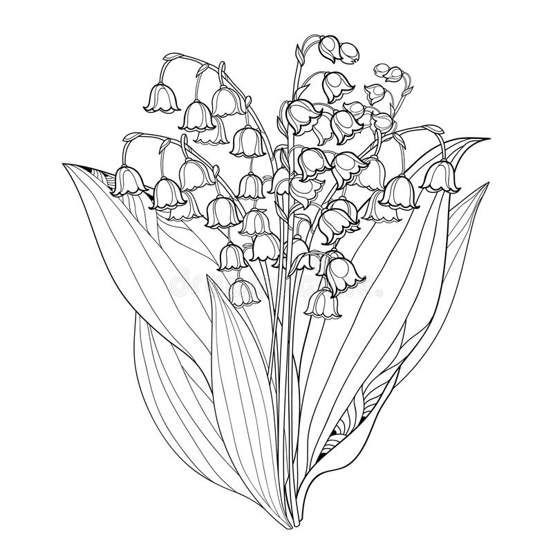 Vector bouquet with outline Lily of the valley or Convallaria flowers and leaves isolated. Floral element for spring design.i. Vector bouquet with outline Lily vector illustration