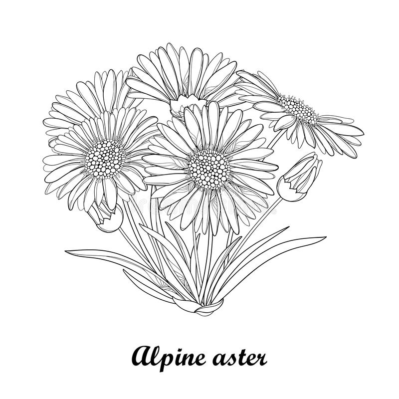 Aster Flower Line Drawing : Vector bouquet with outline open alpine aster flower bud