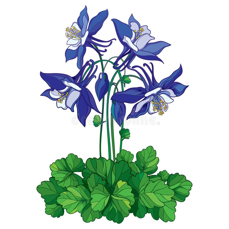 Vector bouquet with outline ornate Aquilegia or Columbine flower in blue, bud and green leaf isolated on white background. vector illustration