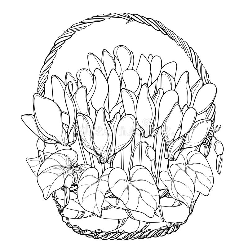 Free Vector Bouquet With Outline Cyclamen Or Alpine Violet Bunch, Bud And Leaf In Wicker Basket In Black Isolated On White Background. Royalty Free Stock Image - 131432276
