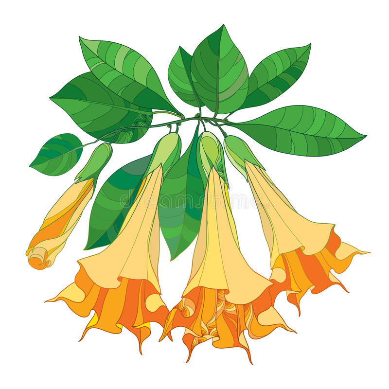 Vector branch with Brugmansia or Angels Trumpets. Outline orange flower, bud and green leaves isolated on white background. vector illustration