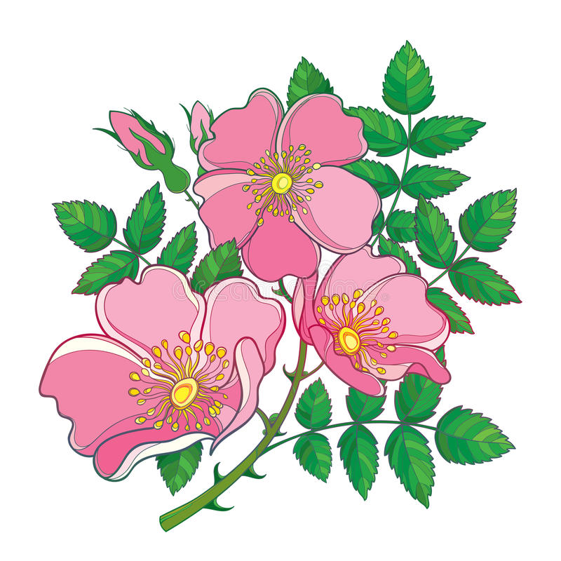 Vector branch with outline Dog rose or Rosa canina, medicinal herb. Pink flower, bud and green leaves isolated on white background vector illustration
