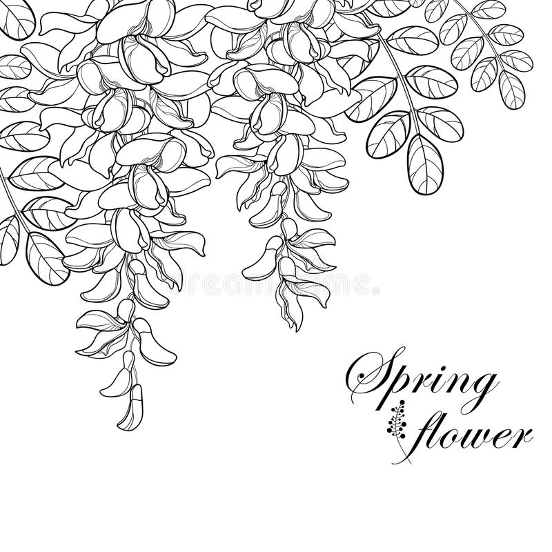 Vector branch of outline white false Acacia or black Locust or Robinia flower, bud and leaves in black isolated on white. Vector branch of outline white false vector illustration