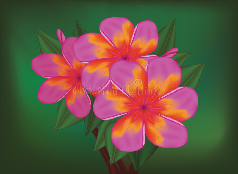 Vector branch of tropical pink flowers. Frangipani (plumeria) on dark green leaves background royalty free illustration