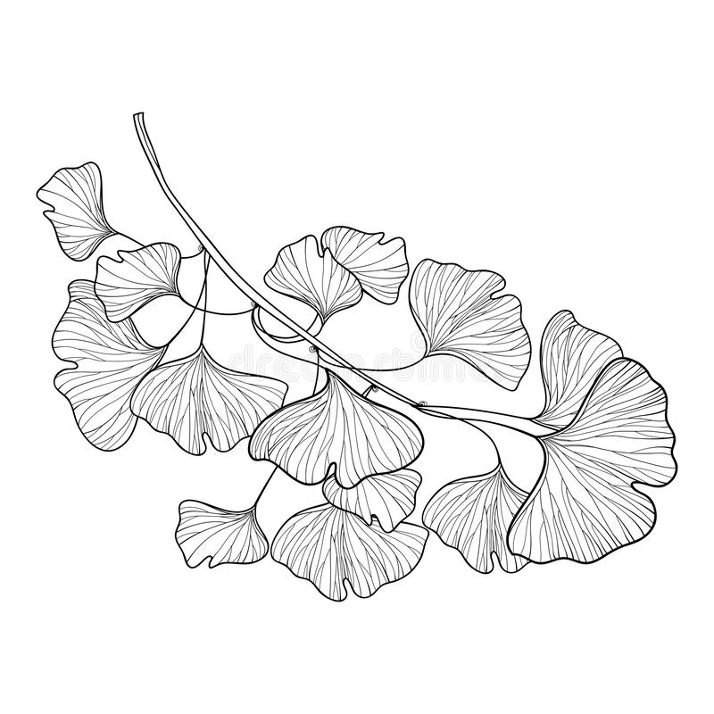 Free Vector Branch With Outline Gingko Or Ginkgo Biloba Tree. Bunch With Ornate Leaf In Black Isolated On White Background. Stock Photos - 166616253