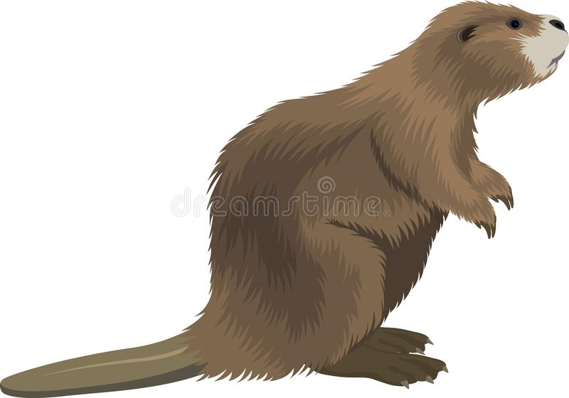 Vector brown eurasian beaver illustration vector illustration