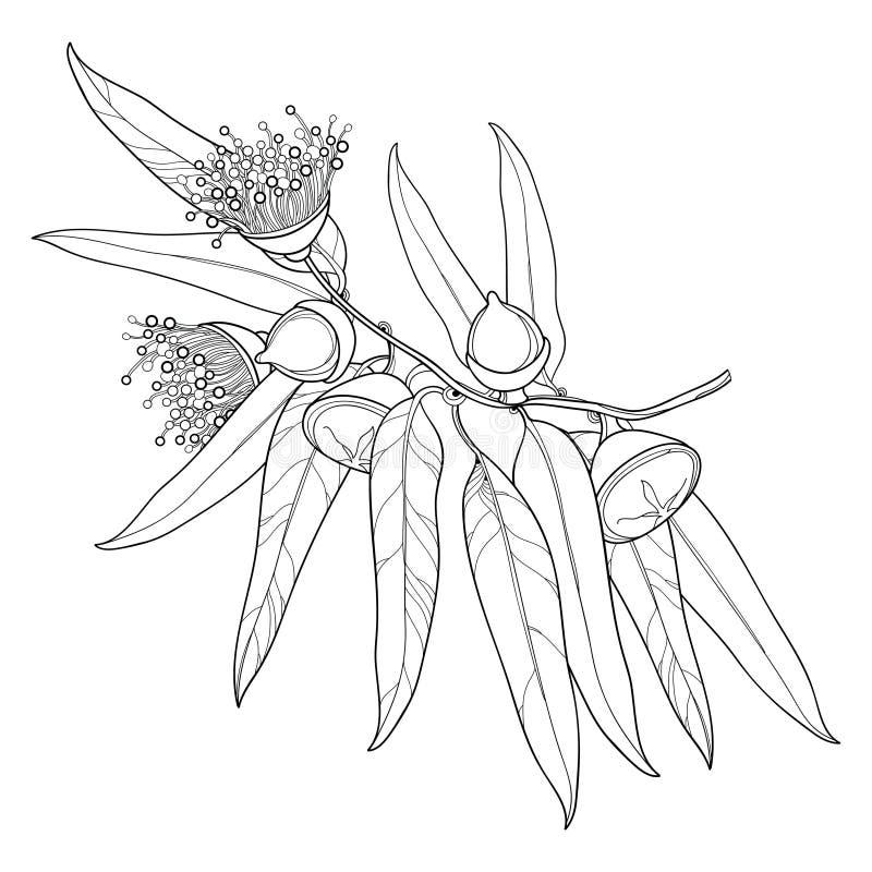 Vector bunch with outline Eucalyptus globulus or Tasmanian blue gum, fruit, flower, leaves on white background. Contour Eucalyptus branch for cosmetic, herbs stock illustration