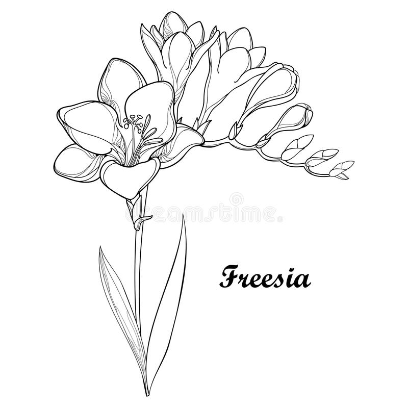 Vector bunch with outline Freesia flower, bud and ornate leaf in black isolated on white background. Perennial fragrant plant. vector illustration