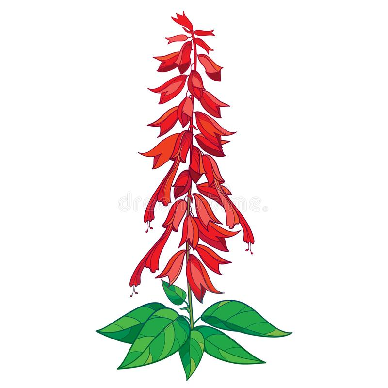 Vector bunch with outline red Salvia splendens or Scarlet sage flower, bud and ornate green leaf isolated on white background. vector illustration