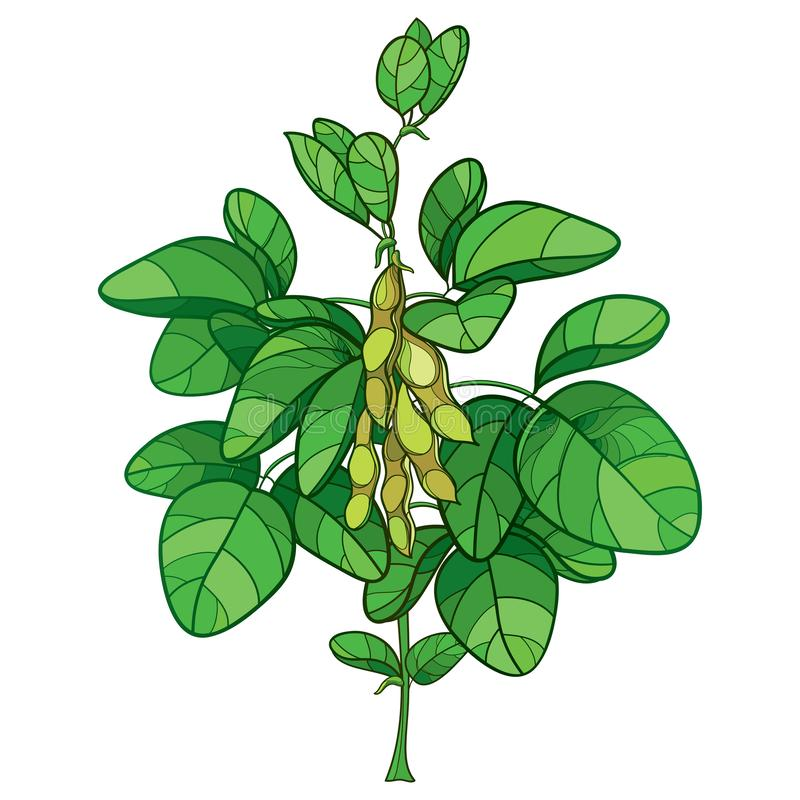 Vector bunch with outline Soybean or Soy bean plant with ripe pods and ornate green leaf isolated on white background. Bush of legume plant Soya in contour vector illustration