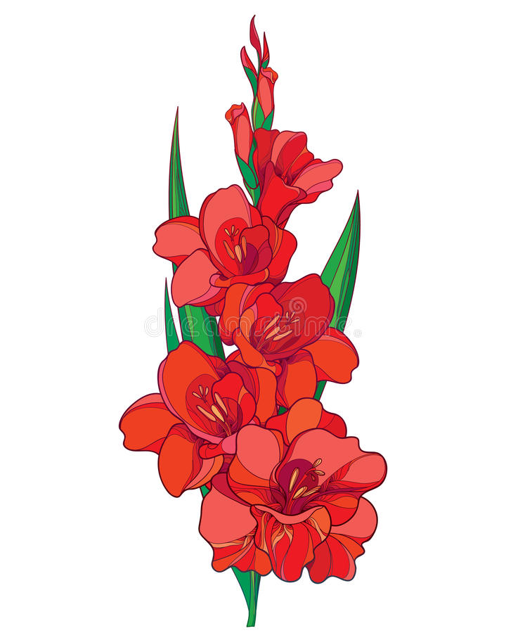 Vector Bunch With Red Gladiolus Or Sword Lily Flower, Stem