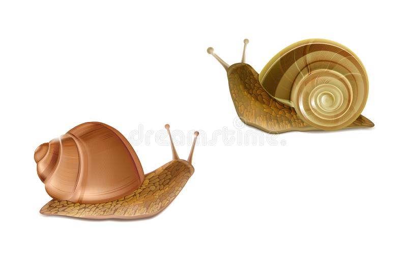 Vector Burgundy, Roman snails. French cuisine delicatessen. Vector 3d realistic two creeping Burgundy or Roman snails. French cuisine delicatessen, edible and stock illustration