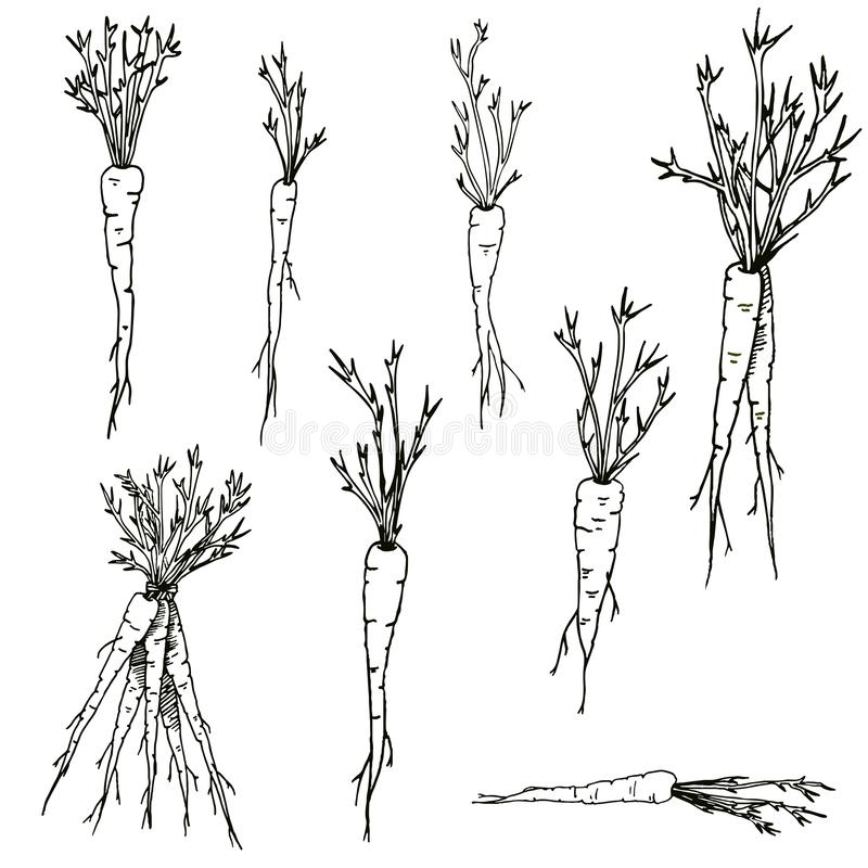 Vector carrots Hand drawn clip art set of black and white vegetables and roots stock illustration