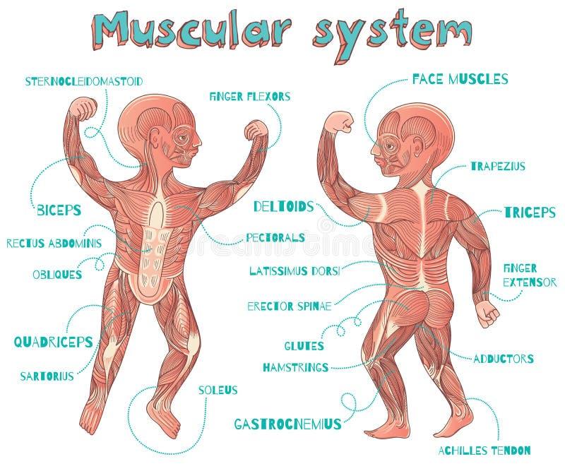 Vector cartoon illustration of human muscular system for kids. Human muscular system for kids. Vector color cartoon illustration. Human muscles scheme vector illustration