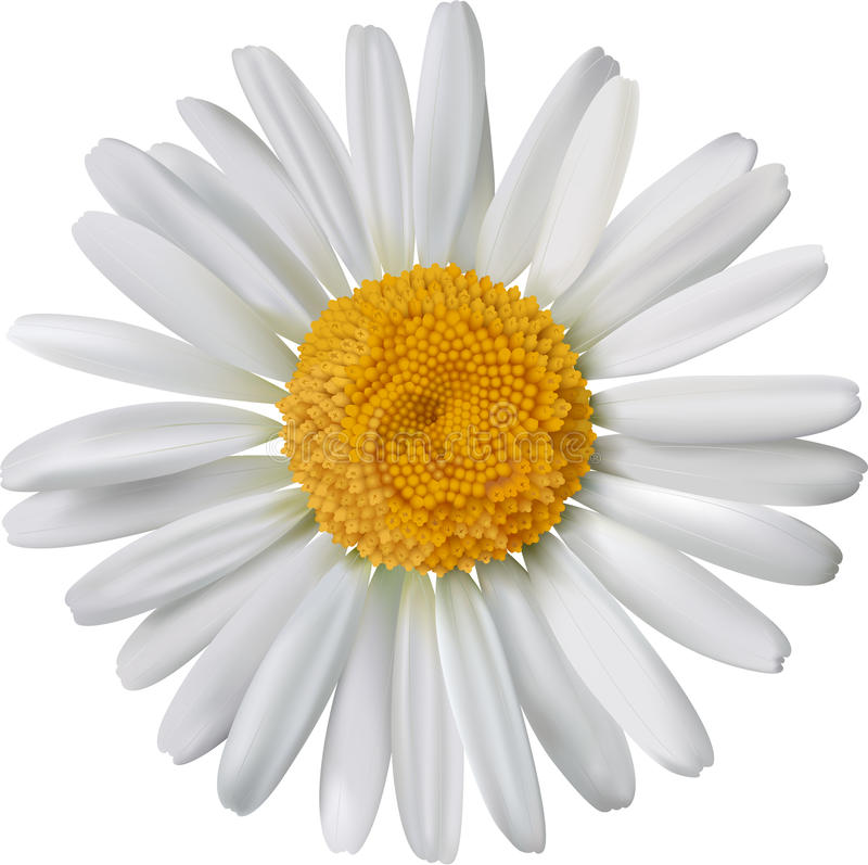 Vector chamomile flower isolated royalty free illustration