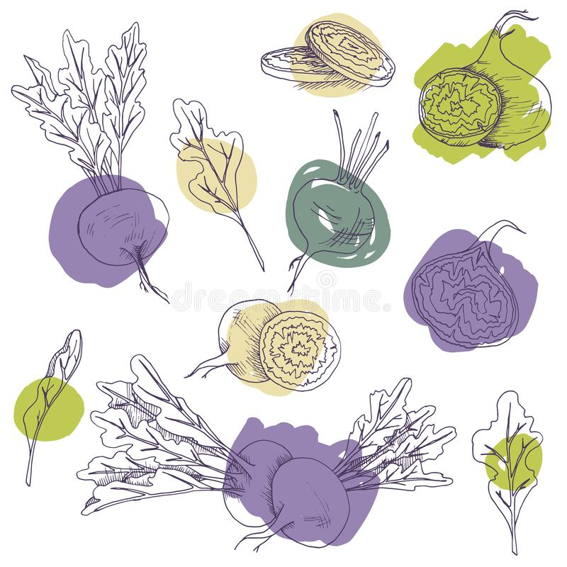 Vector clip art set of beet roots. isolated hand drawnl vegetables on white background with brush strokes. Vector clip art set of beetroots. isolated hand drawnl royalty free illustration