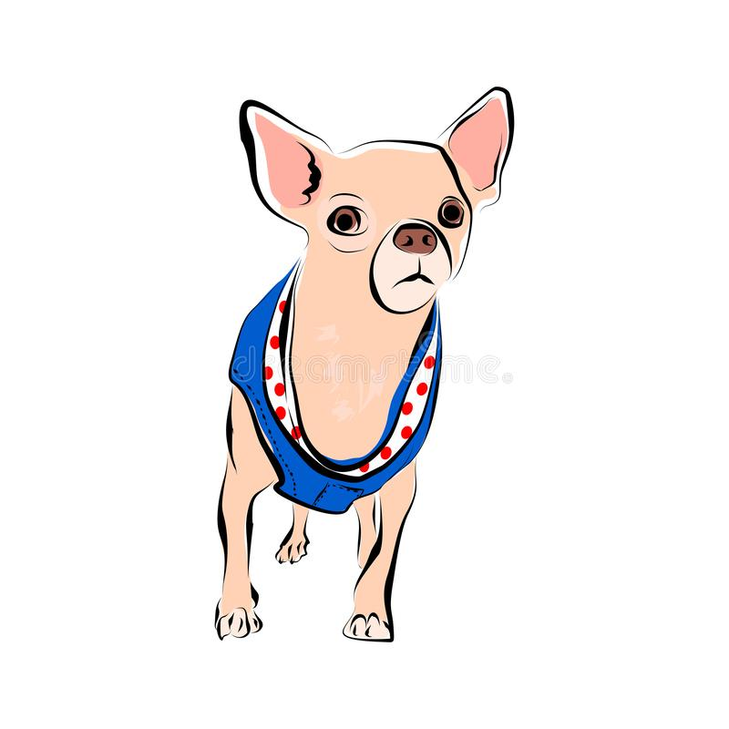 Vector closeup portrait of chihuahua dog isolated on white background. funny dog in colorful cloth. Hand drawn sweet home pet. vector illustration