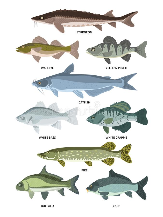 Vector collection of different kinds of freshwater fish. Fresh aquatic fish, sturgeon and walleye, perch and crappie illustration stock illustration