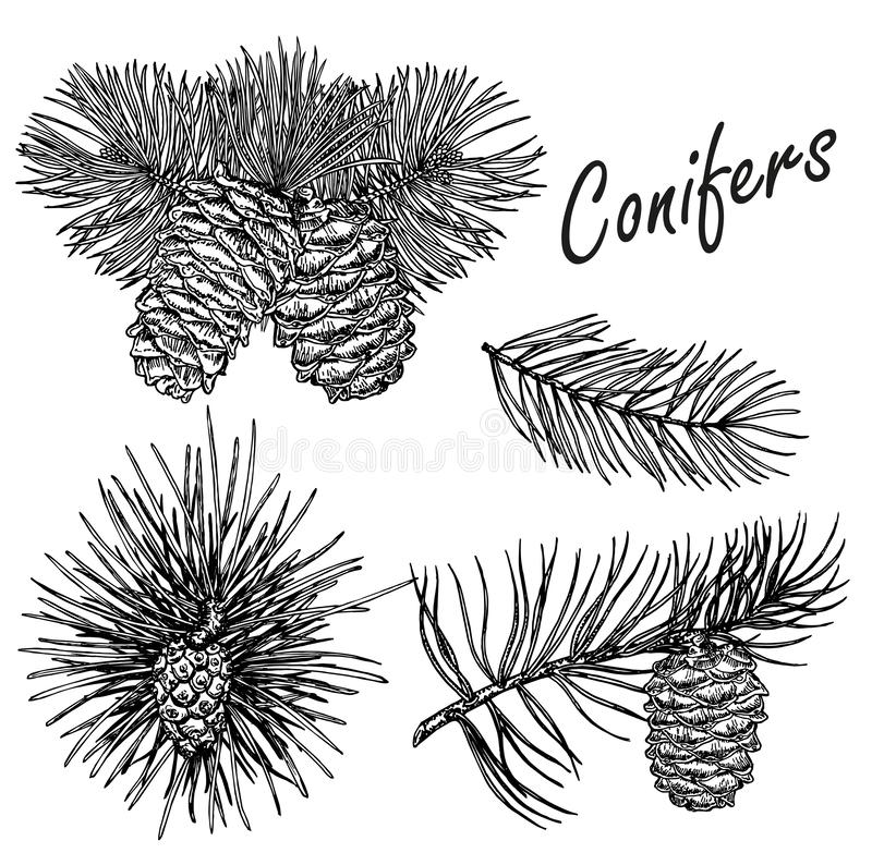 Vector collection of hand drawn conifers illustration royalty free illustration