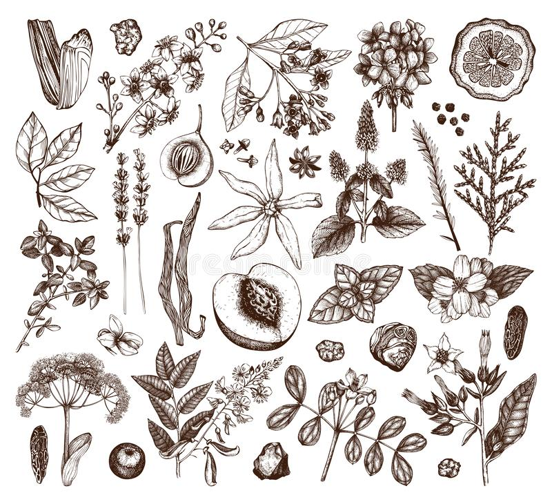 Vector collection of hand drawn perfumery materials and ingredients. Vintage set of aromatic plants, fruits, flowers, seeds, berri. Es, herbs and spices for royalty free illustration