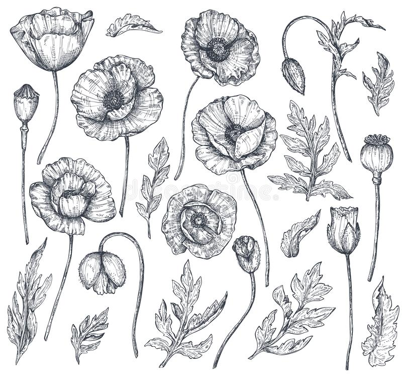 Vector collection of hand drawn poppy flowers stock illustration