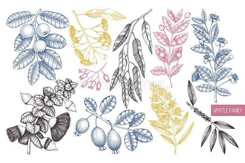 Vector collection of Myrtle family plants illustrations. Hand drawn myrtus, tea tree, guava fruit, eucalyptus, feijoa sketches. Es royalty free illustration