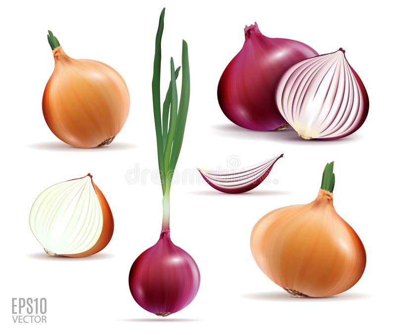 Vector collection of onions with slices isolated on white. Realistic 3d vector onion royalty free illustration