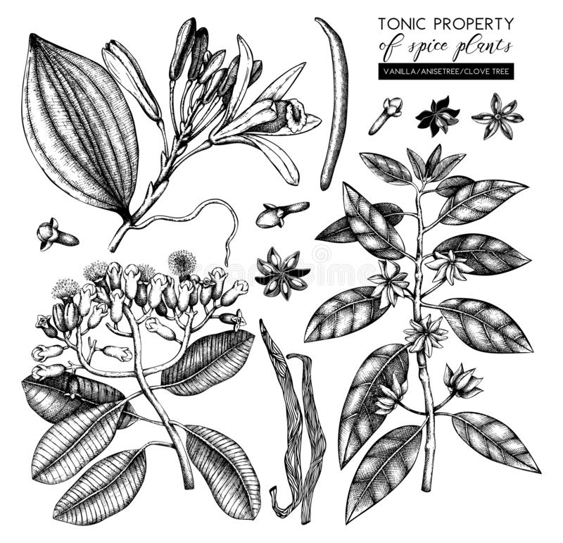Vector collection of tonic and spicy plants - nutmeg, star anise, clove tree. Hand drawn spices illustrations set. Vintage aromati. C elements. Sketched flowers vector illustration