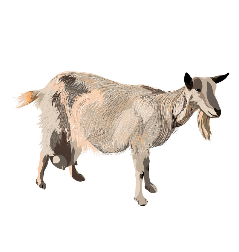 Vector Color Goat On White Background Stock Vector - Illustration of ...