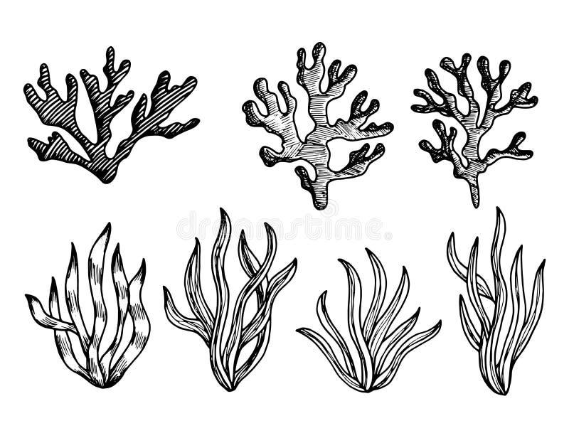 Vector comestible de los bosquejos de las algas malas hierbas subacuáticas marinas de las plantas ilustración del vector