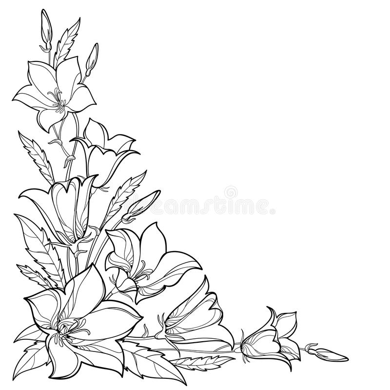 Vector corner bouquet with outline Campanula or Bellflower or Bluebell flower, leaf and bud in black isolated on white background. Ornate plant in contour stock illustration