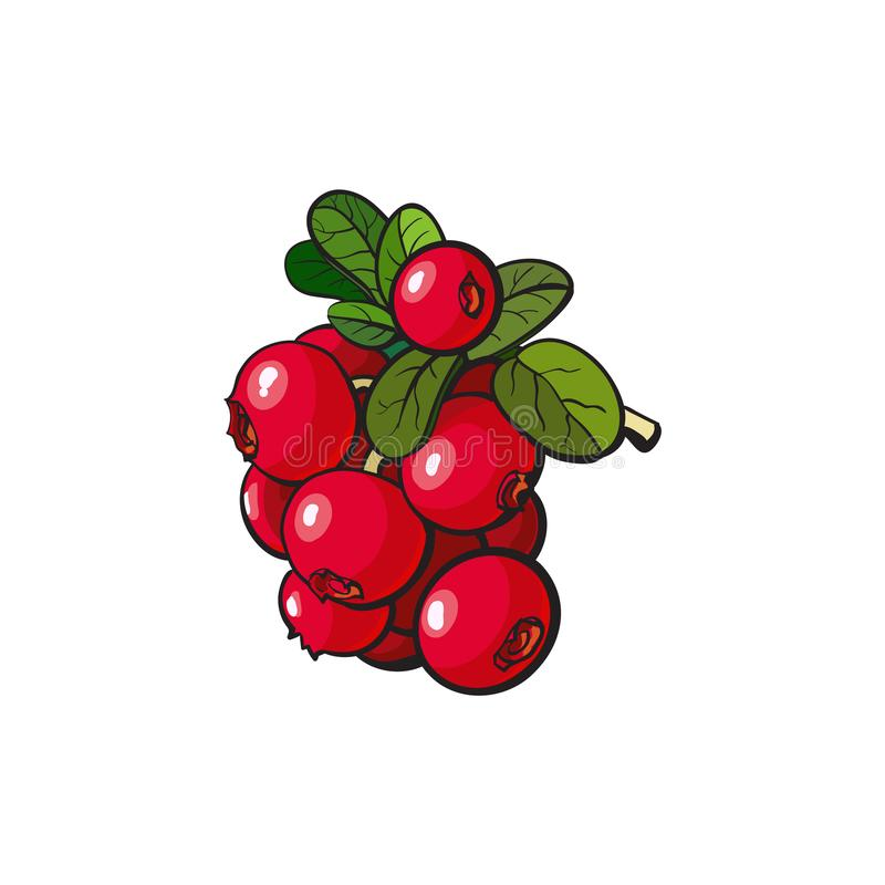 Vector cranberry hand drawn ripe berries bunch. Cranberry hand drawn ripe red berries bunch with leaves icon. Sketch style natural organic vitamin food. Healthy stock illustration