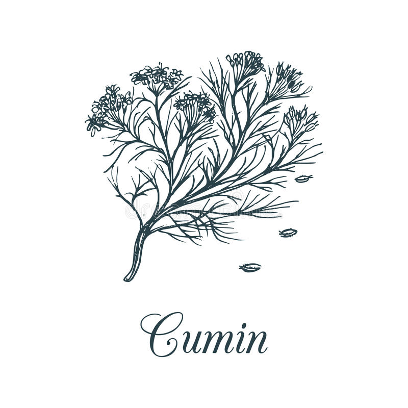 Vector cumin with seeds illustration. Culinary aromatic spice sketch. Botanical drawing of caraway in engraving style. royalty free illustration
