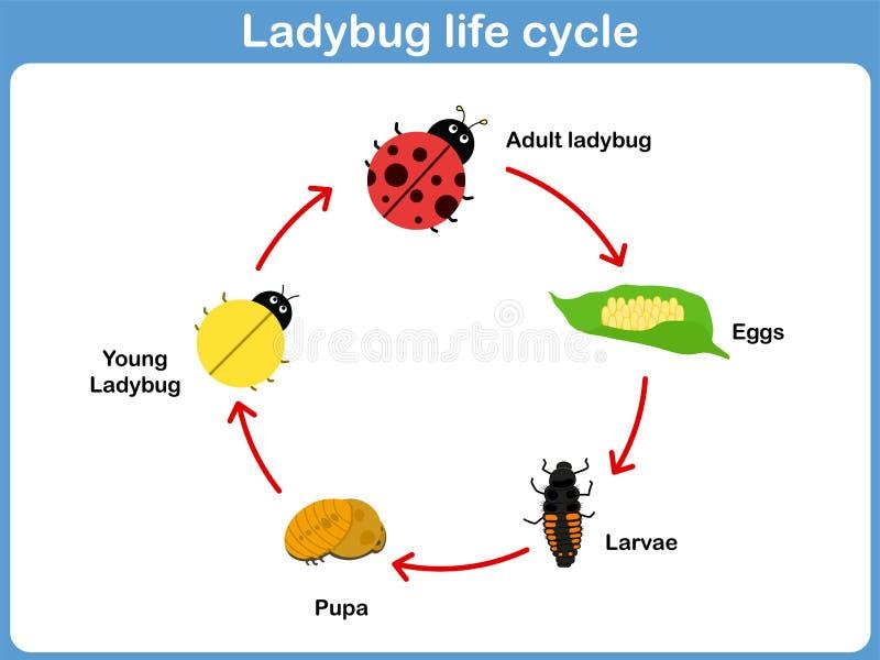 vector cycle of ladybug for kids stock vector illustration of rh dreamstime com Ant Diagram Worksheet Ladybug Printable Worksheets