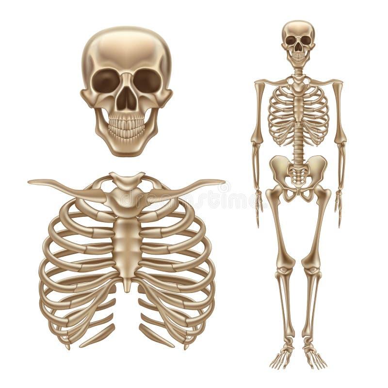 Vector 3d Human Skeleton, Bones Skull Spine Stock Vector ...