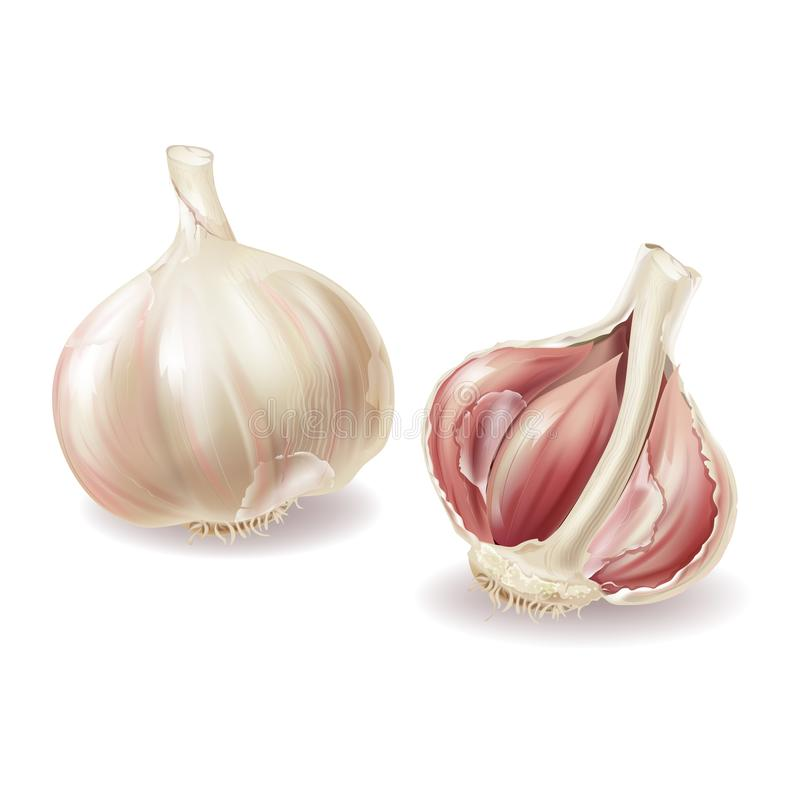 Vector 3d realistic garlic set, spicy condiment. Vector 3d realistic garlic head - whole vegetable and garlic cloves, lobules in shuck, peelings. Spicy condiment royalty free illustration