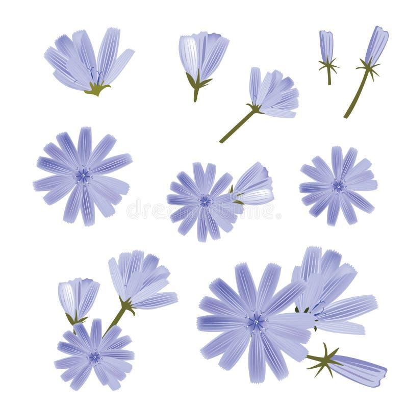 Vector de la achicoria, una colección de diversas flores ejemplo a mano del vector Elementos aislados del dise?o ilustración del vector