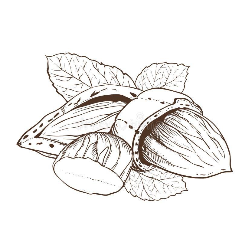 Vector de la almendra en el fondo blanco libre illustration
