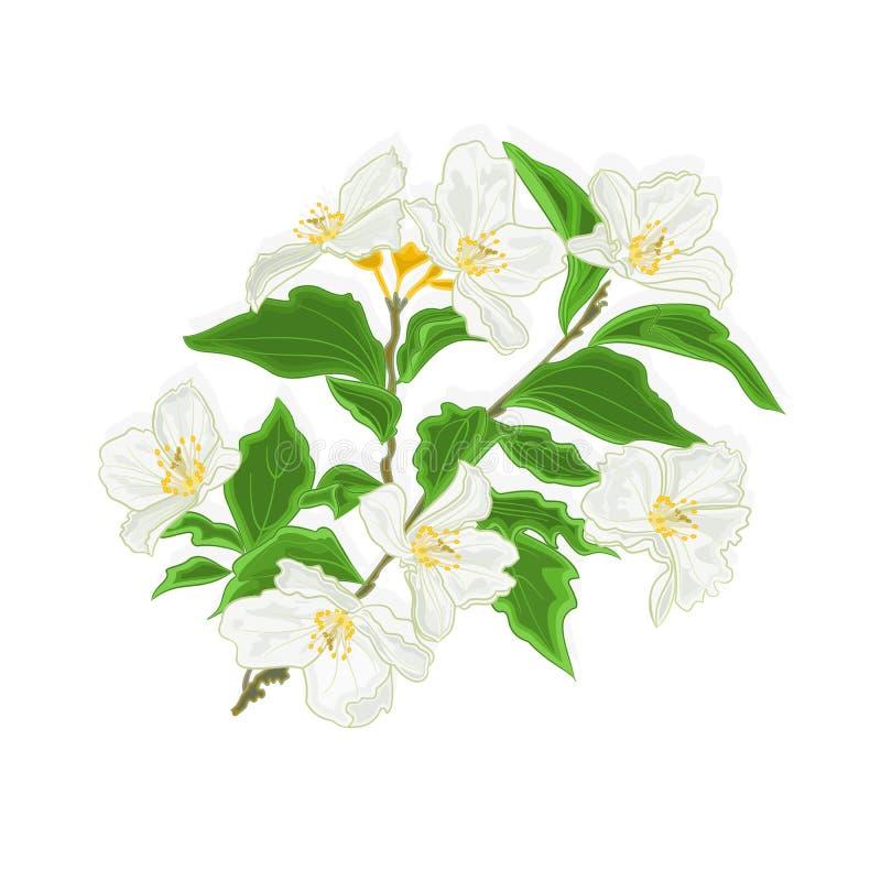 Vector de la rama de la flor del jazmín stock de ilustración