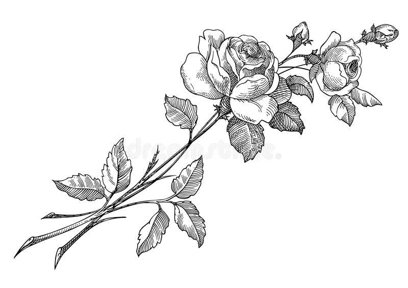 Vector de Rose ilustración del vector