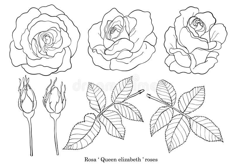 Vector de Rose fijado a mano dibujo ilustración del vector
