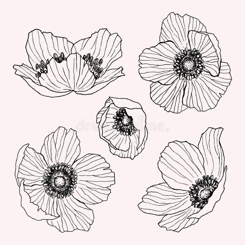 Vector de tekeningsreeks van de anemoonbloem Geïsoleerde wilde installatie en bladeren Kruiden gegraveerde stijlillustratie gedet vector illustratie