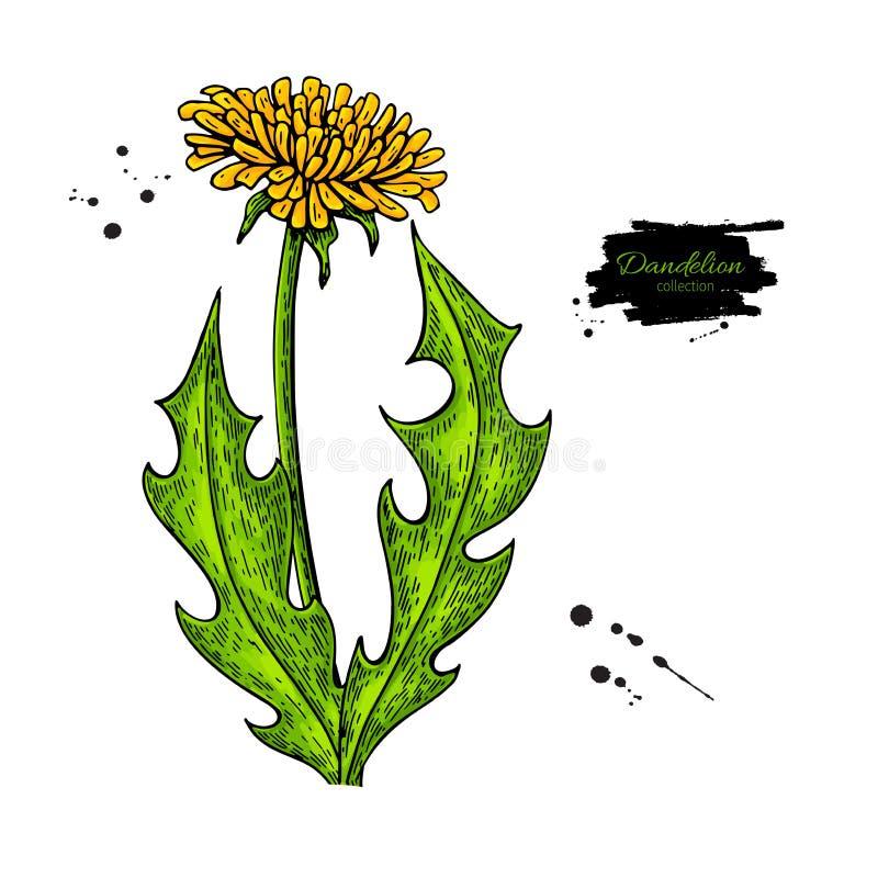 Vector de tekeningsreeks van de paardebloembloem Geïsoleerde wilde installatie en bladeren vector illustratie