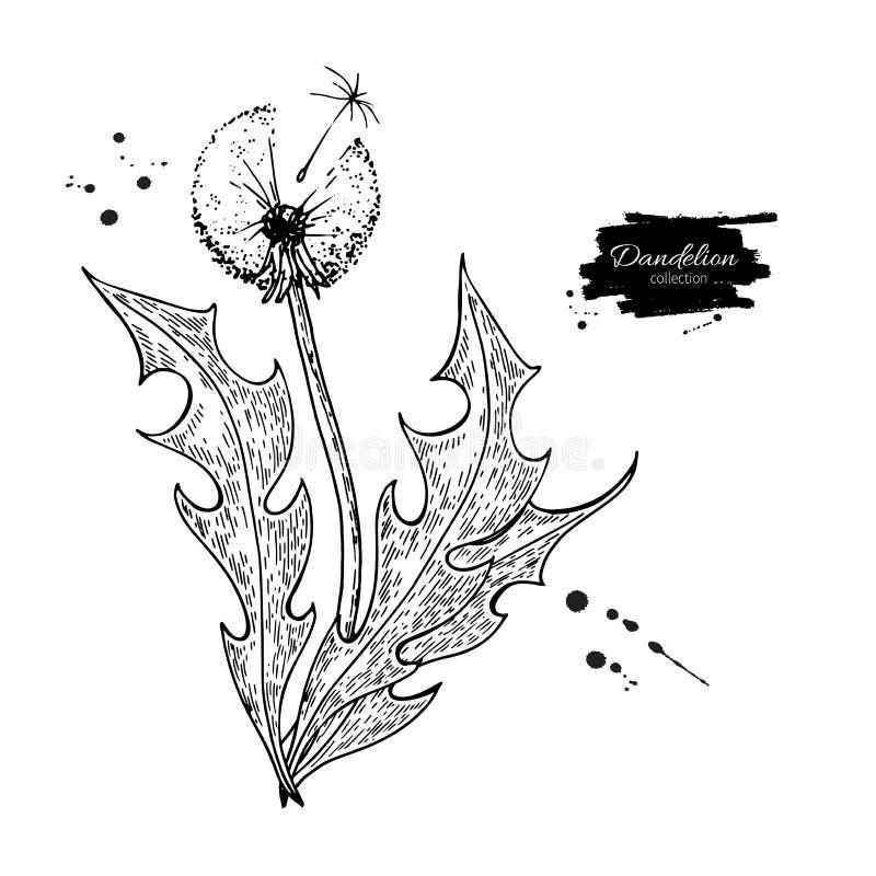 Vector de tekeningsreeks van de paardebloembloem Geïsoleerde wilde installatie en bladeren Gegraveerd kruiden royalty-vrije illustratie