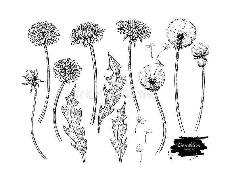 Vector de tekeningsreeks van de paardebloembloem Geïsoleerde wilde installatie en vliegende zaden kruiden stock illustratie
