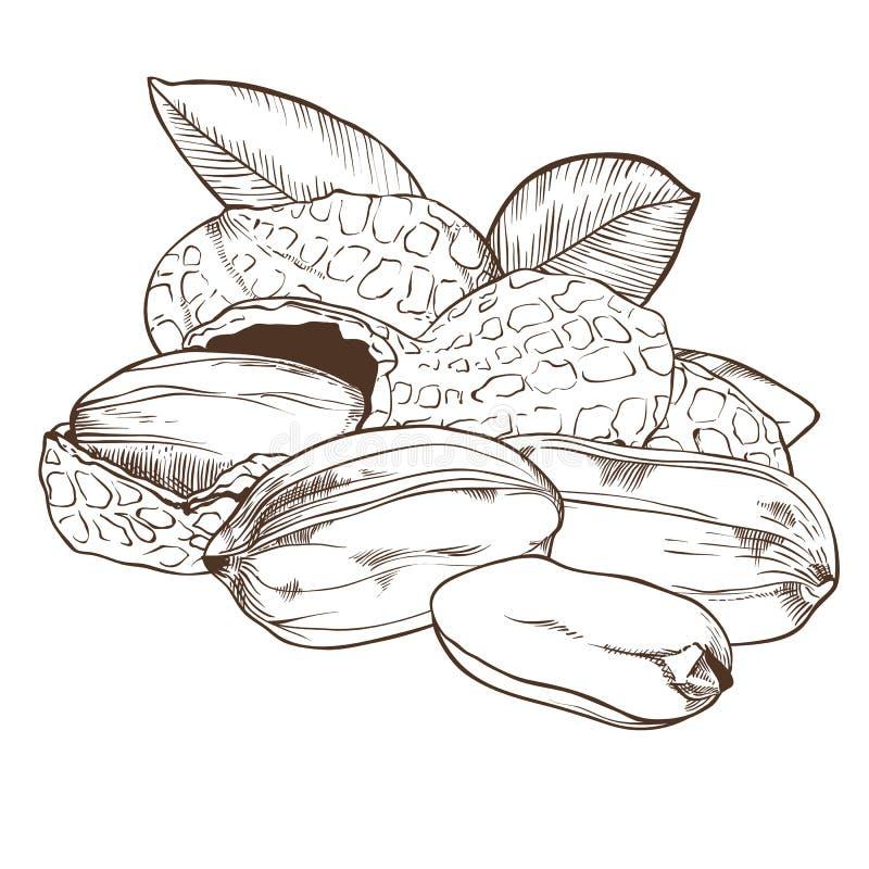 Vector del cacahuete en el fondo blanco libre illustration