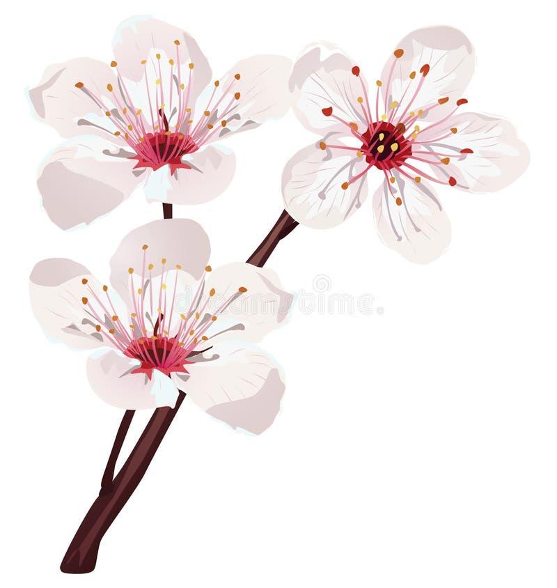 Vector del flor de cereza ilustración del vector