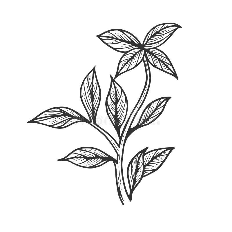 Vector del grabado del bosquejo de la especia del ocimum de la albahaca libre illustration